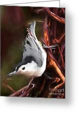 White-breasted Nuthatch - Classic Pose Greeting Card