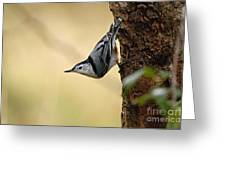 White-breasted Nuthatch Pictures 46 Greeting Card