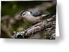 White-breasted Nuthatch Pictures 47 Greeting Card