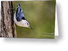 White-breasted Nuthatch Pictures 52 Greeting Card