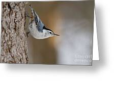 White-breasted Nuthatch Pictures 88 Greeting Card