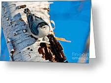 White-breasted Nuthatch Pictures 95 Greeting Card