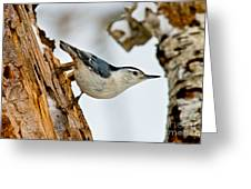 White-breasted Nuthatch Pictures 97 Greeting Card