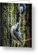White Breasted Nuthatchs Greeting Card