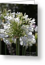 White Bright Agapanthus Greeting Card
