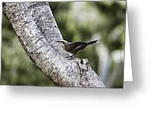 White Brown Babbler Greeting Card