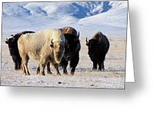 White Buffalo Greeting Card