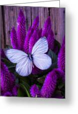 White Butterfly On Flowering Celosia Greeting Card