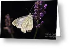 White Butterfly On Lavender Against A Black Background Greeting Card