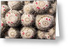 White Cactus Pink Flowers No1 Greeting Card