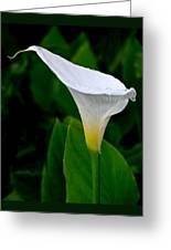 White Calla Greeting Card