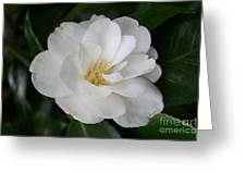 Snow White Camellia Greeting Card