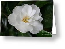 Snow White Camellia Greeting Card