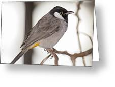 White Cheeked Bulbul Greeting Card by Gerald Murray Photography