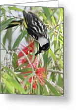 White-cheeked Honeyeater Feeding Greeting Card