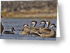 White-cheeked Pintails Greeting Card