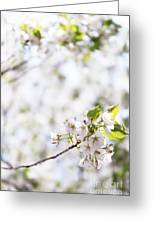 White Cherry Blossom Flowers  Greeting Card