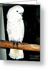 White Cockatiel-loreto Mx. Greeting Card