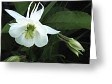 White Columbine Greeting Card