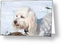 White Coton De Tulear Dog In Snow Greeting Card