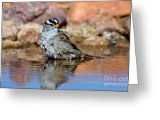 White-crowned Sparrow Bathing Greeting Card
