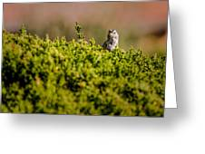 White-crowned Sparrow In A Bush Greeting Card