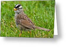 White Crowned Sparrow Greeting Card