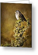 White-crowned Sparrow Greeting Card