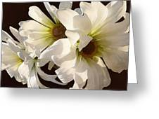 White Daisies In Sunshine Greeting Card