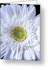 White Daisy Close Up Greeting Card