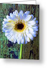 White Daisy With Green Wall Greeting Card