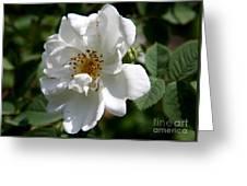 White Dog Rose Greeting Card