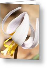 White Dog Tooth Violet Greeting Card