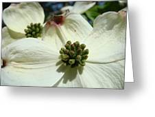 White Dogwood Flowers Art Prints Spring Greeting Card by Baslee Troutman