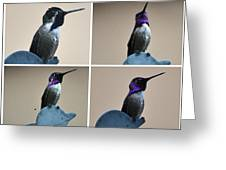 White Eared Male Costa's Greeting Card