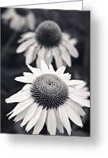 White Echinacea Flower Or Coneflower Greeting Card by Adam Romanowicz