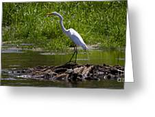 White Egret And Snapping Turtles Greeting Card