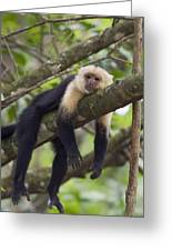 White-faced Capuchin Costa Rica Greeting Card