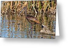 White-faced Ibis In The Wetlands Greeting Card