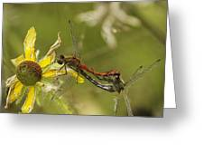 White-faced Meadowhawks Mating Greeting Card