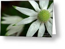 White Flannel Flowers Greeting Card