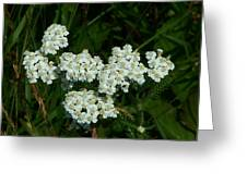 White Flowers In Green Field Greeting Card