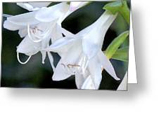 White Flute Blooms Greeting Card