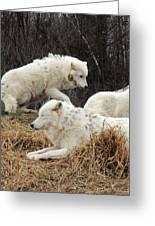 White Furs Greeting Card