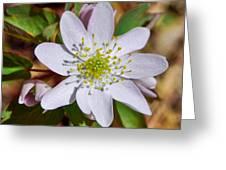 White Hepatica 2 Greeting Card