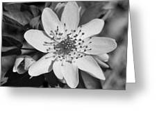 White Hepatica Greeting Card