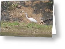 White Heron Greeting Card