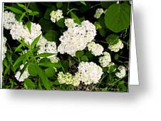 White Hydrangia Beauty Greeting Card