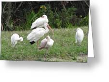 White Ibis Bliss Greeting Card