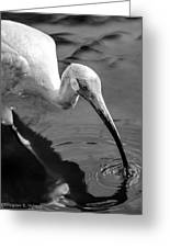 White Ibis - Bw Greeting Card